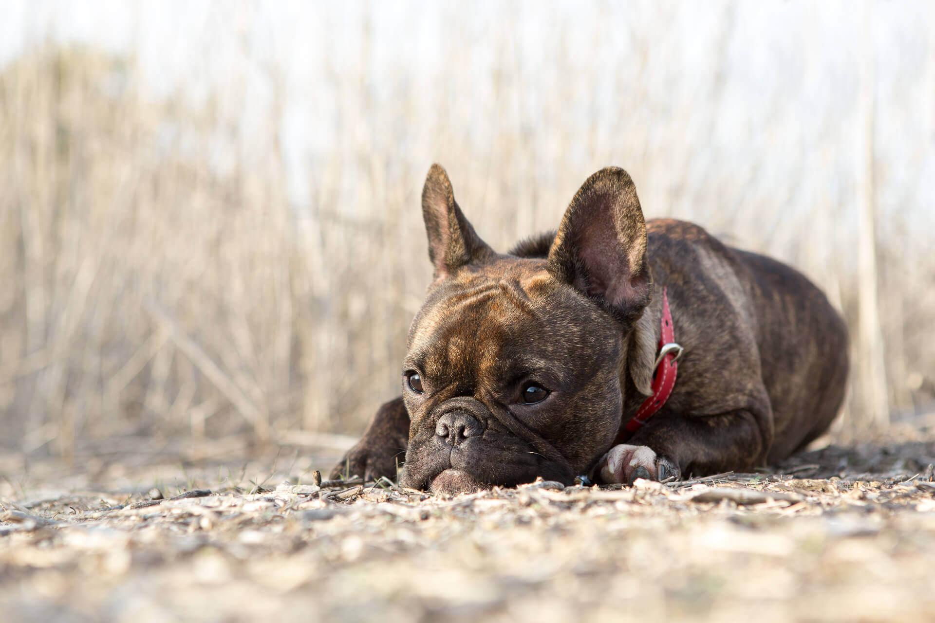 -French Bulldog laying down