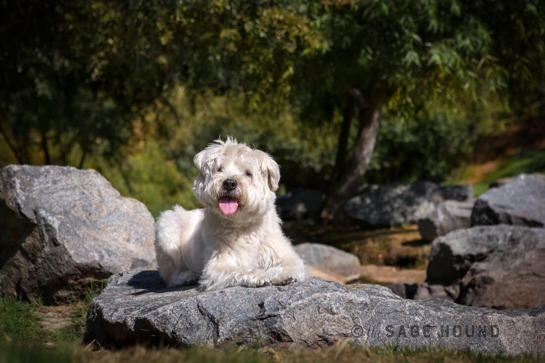 Wheaton-Terrier-without-a-leash