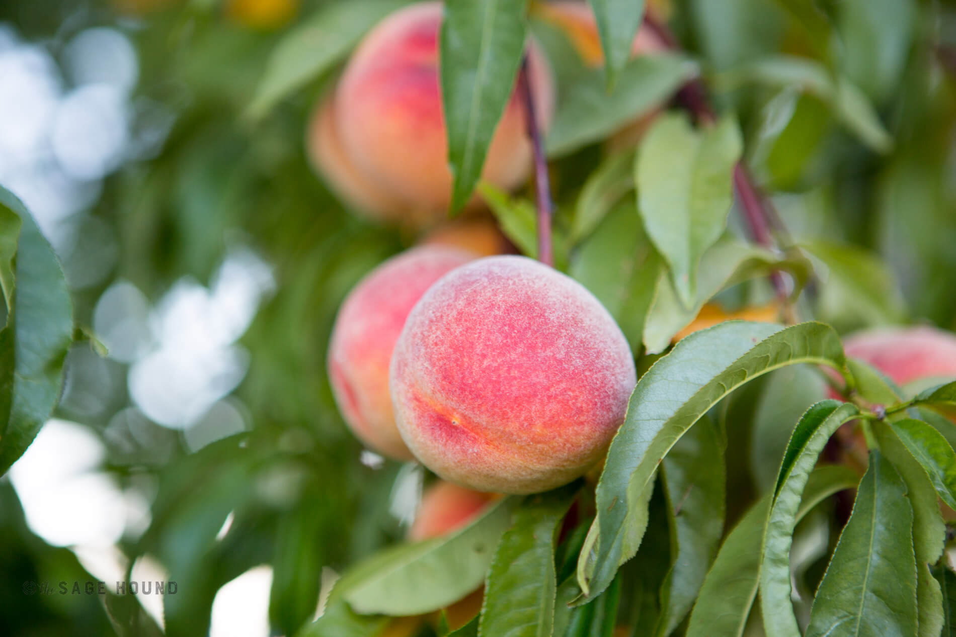 Sage Hound Farm Peaches