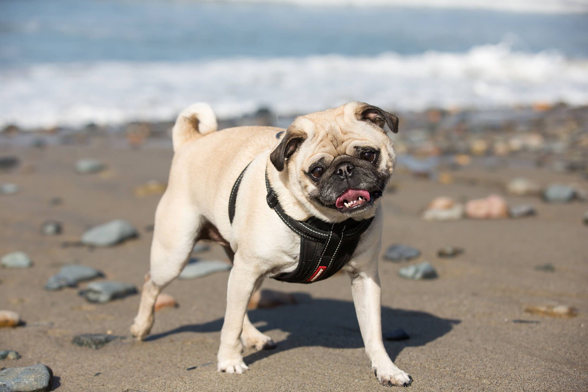 Pug on the beach in the day